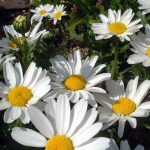 Creeping Daisy – 50 Biji