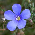 Blue Flax – 50 Biji
