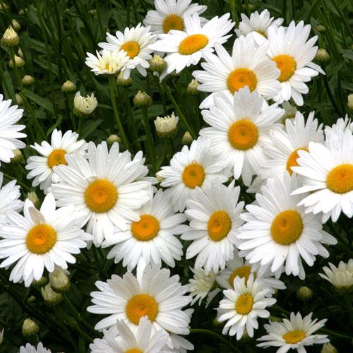 Bunga Shasta Daisy