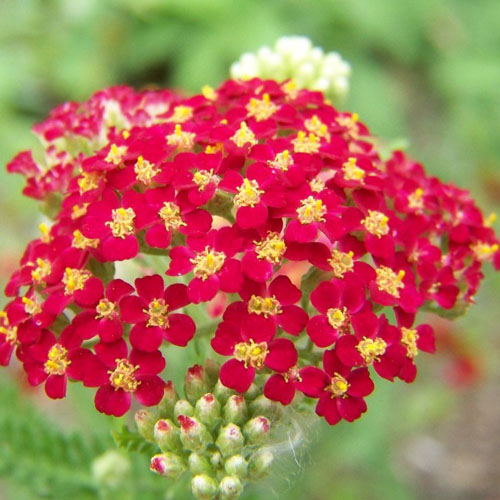 Bunga Yarrow Red