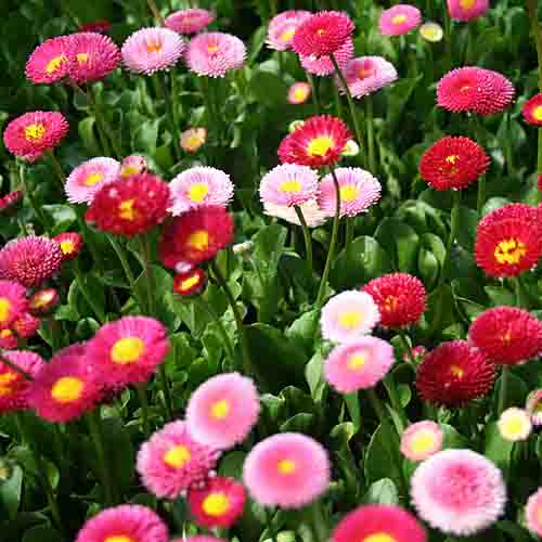 English Daisy Mix