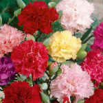 Carnation Chabaud Mix – 30 Biji