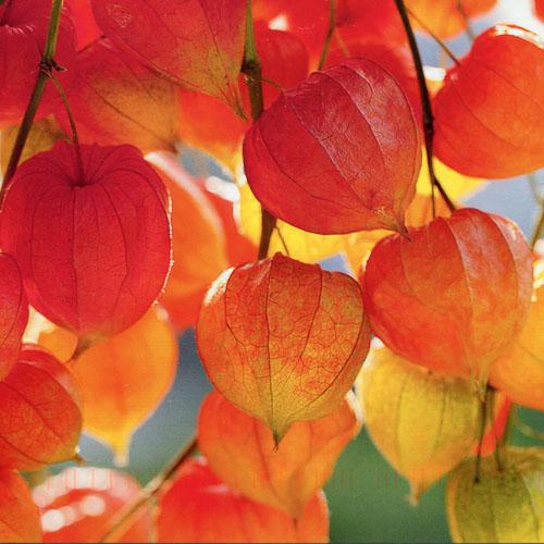 Bunga Chinese Lantern