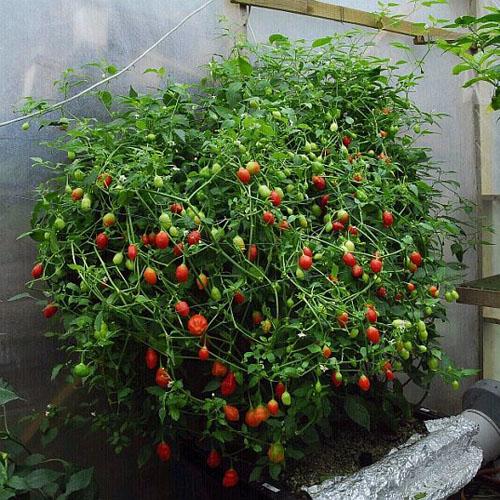 Inca Berry Plants