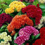 Celosia Crested Mix – 50 Biji