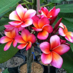 Plumeria Pelangi Hybrid