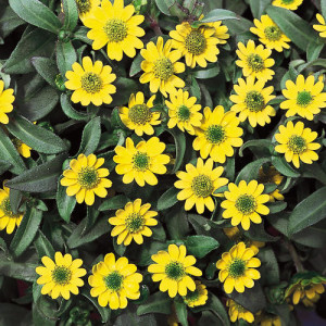 Creeping Zinnia – 30 Biji