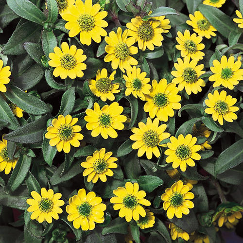 Bunga Creeping Zinnia