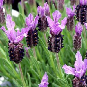 Lavender Stoechas – 30 Biji