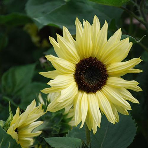 Bunga Sunflower Valentine