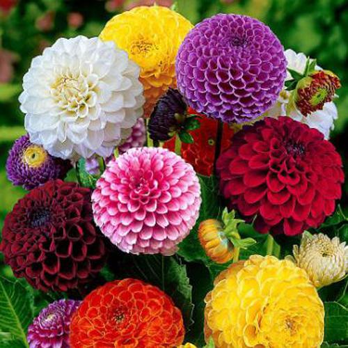 Bunga Dahlia Pompon