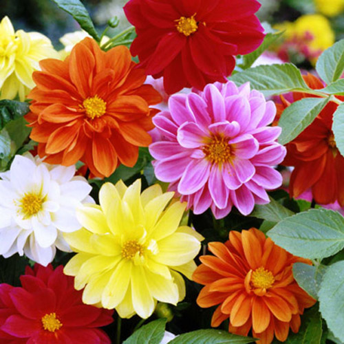 Bunga Dahlia Unwin