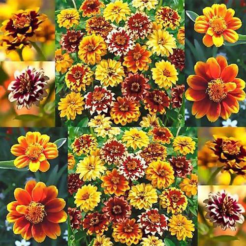 Bunga Mexican Zinnia