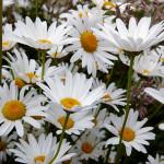Oxeye Daisy – 50 Biji