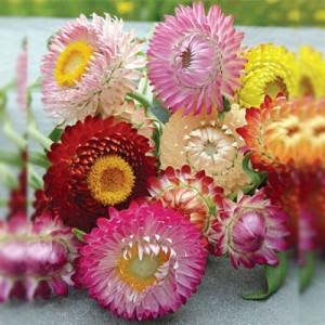 Strawflower – 50 Biji