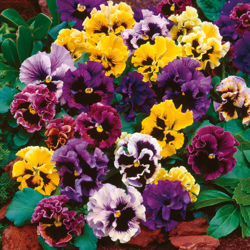 Bunga Pansy Swiss Cancan Mix