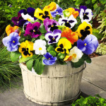 Pansy Swiss Mix – 30 Biji