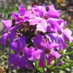 Purple Moss Verbena – 30 biji