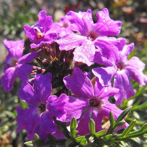 Bunga Purple Moss Verbena
