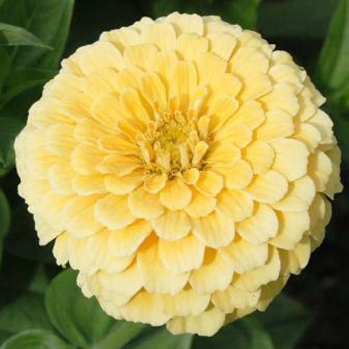 Bunga Zinnia Isabellina