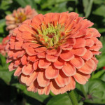 Zinnia Salmon Queen – 30 biji